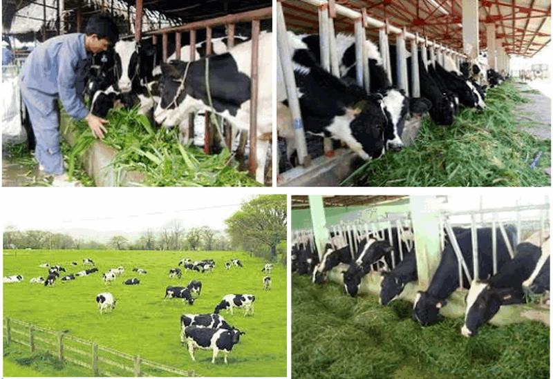 Xử lý nước thải nuôi bò sữa