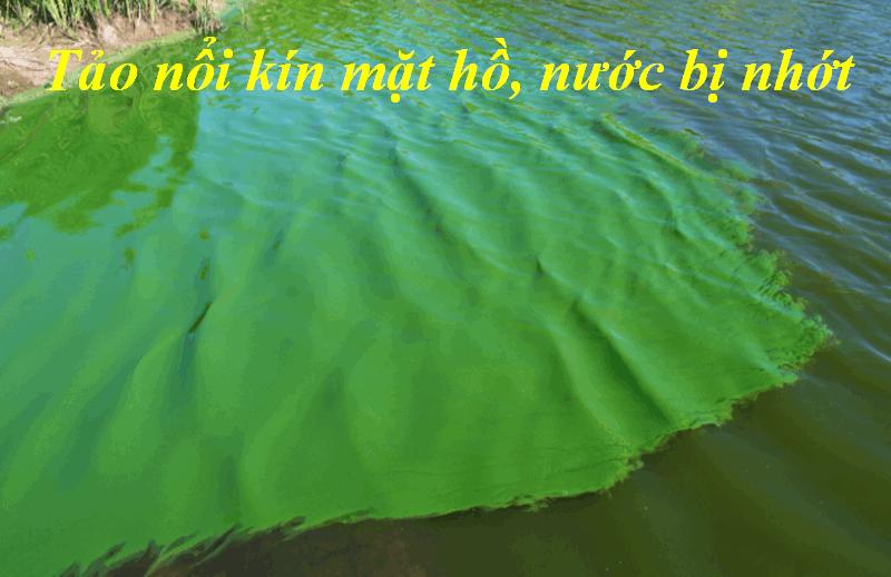 Tảo nổi kín mặt hồ