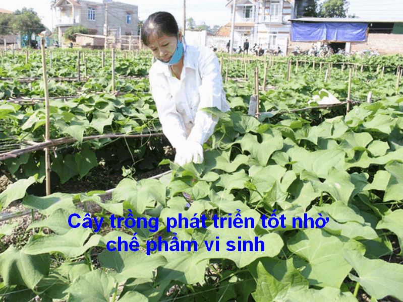 ây trồng phát triển nhờ chế phẩm vi sinh