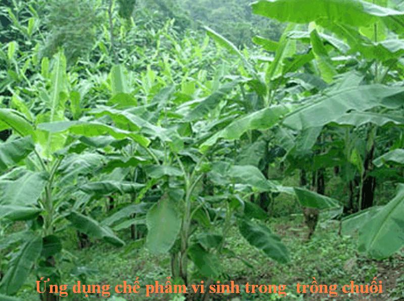 ứng dụng chế phẩm vi sinh trong trồng chuối