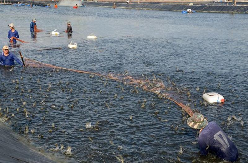 Hướng dẫn cách làm sạch ao nuôi tôm bằng Microbe-Lift Aqua-C