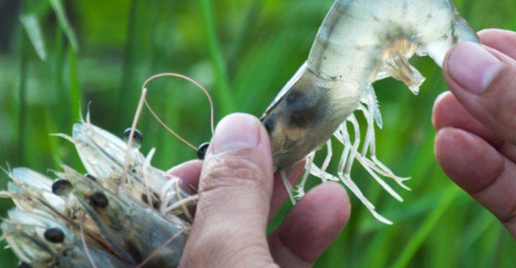 Các yếu tố ảnh hưởng đến sự phát triển của tôm và biện pháp khắc phục