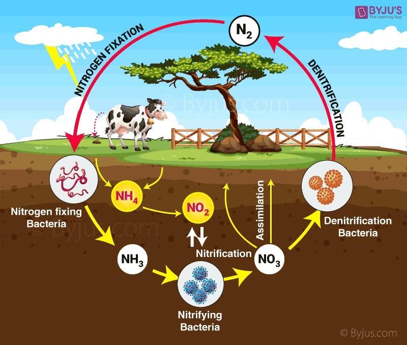 Chu trinh Nito quá trình Nitrat hóa