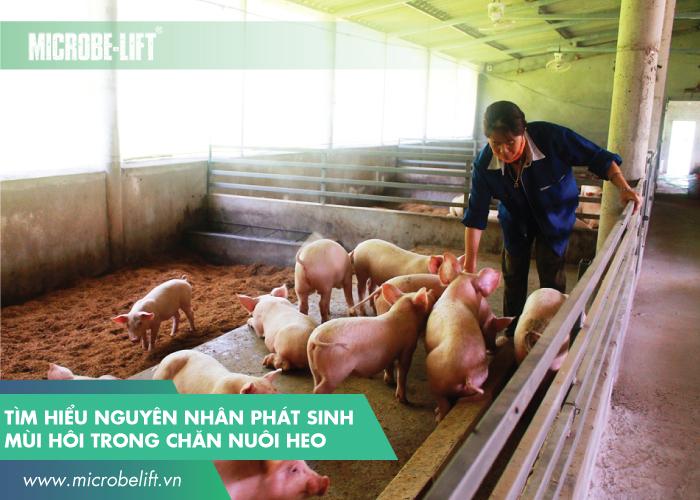 Tìm hiểu nguyên nhân phát sinh mùi hôi trong chăn nuôi heo