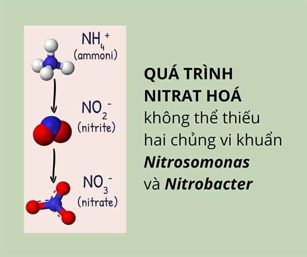 05 nitrat hoa voi nitrosomonas va nitrobactor