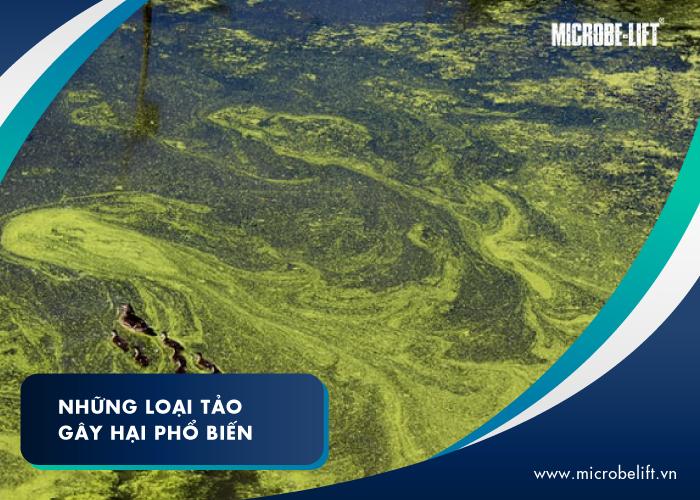 Những loại tảo gây hại phổ biến