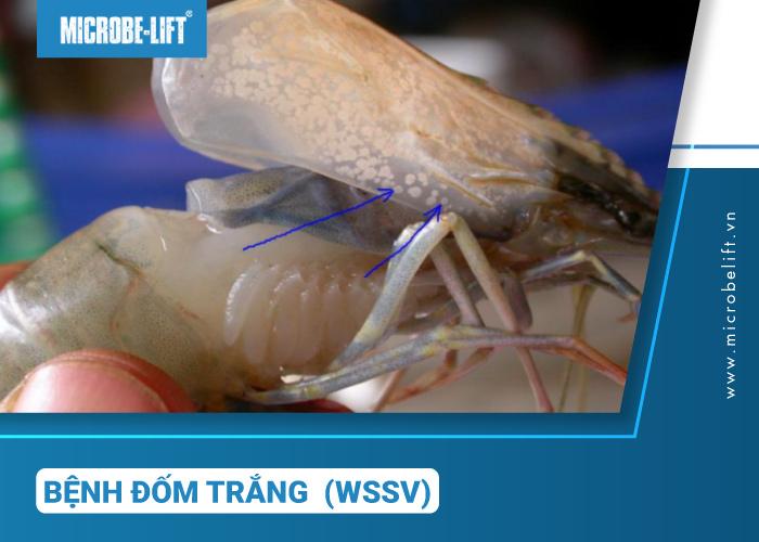 Tôm bị nhiễm đốm trắng cho WSSV