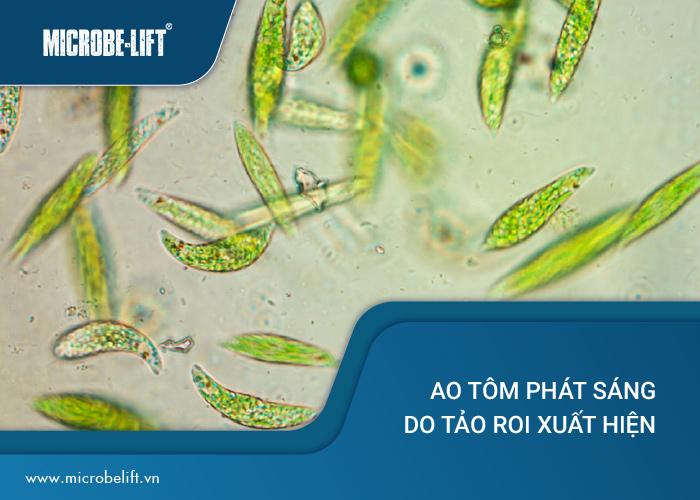 nước ao tôm phát sáng do tảo roi